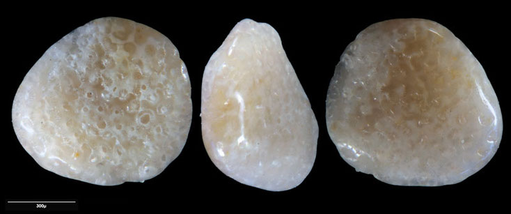 Foraminifera, Australien, Strand