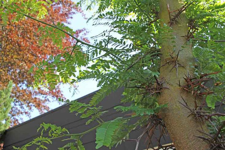 Bild 1 Amerikanische Gleditschie  (Gleditsia triacanthos) im Garten