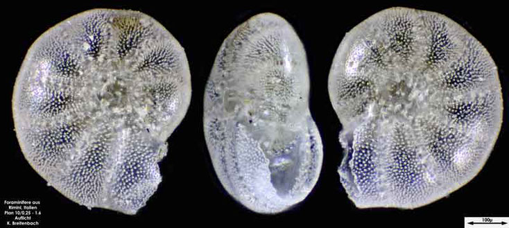 Foraminifere aus Strandsand aus Rimini; Gattung: Haynesina sp.