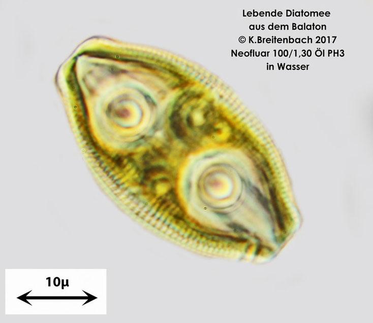 Aus dem Sand vom Balaton, Diatommen Art unbekannt