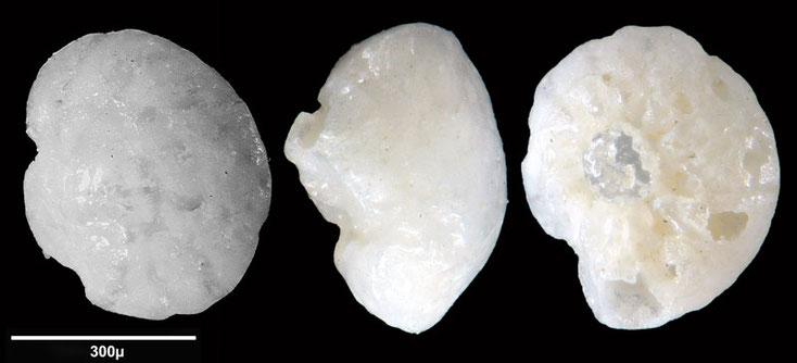 Bild 2 Foraminifere aus Saudi Arabien, Ras as Zawr, Gattung: Ammonia sp