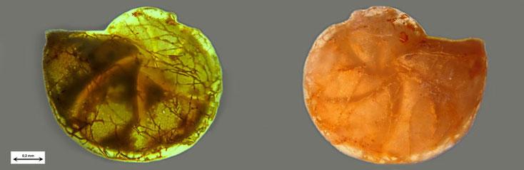 Bild 7 Foraminifere aus Waldlaubersheim vermutlich Lenticulina spec.