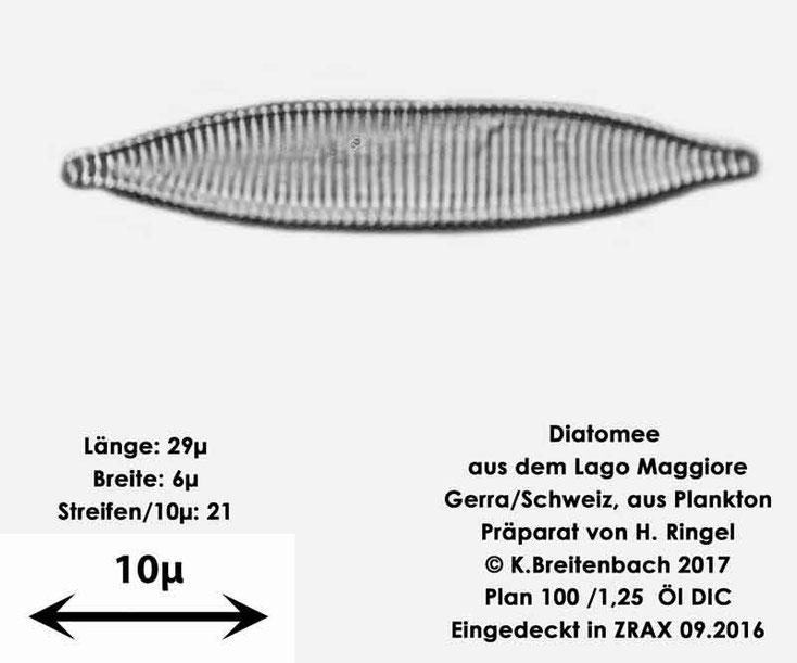 Bild 21 Diatomee aus dem Lago Maggiore/Gerra Schweiz, Art mir unbekannt