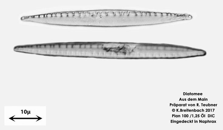 Bild 10 Diatomeen aus dem Main km 69,4 Art: vermutlich Nitzschia recta