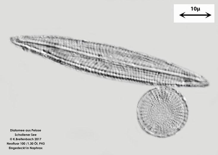 Diatomee aus der Pelose aus dem Schollener See, vermutlich Navicula spec.
