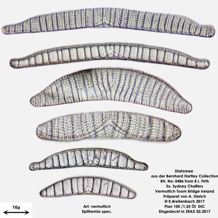 Bild 8 Diatomee aus Toomebridge Irland, Süßwasser Art: vermutlich Epithemia spec.
