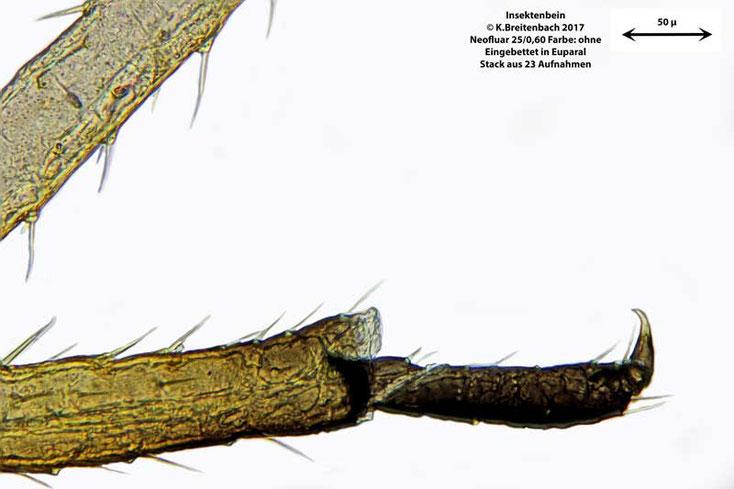 Insektenbein, eingebettet in Euparal