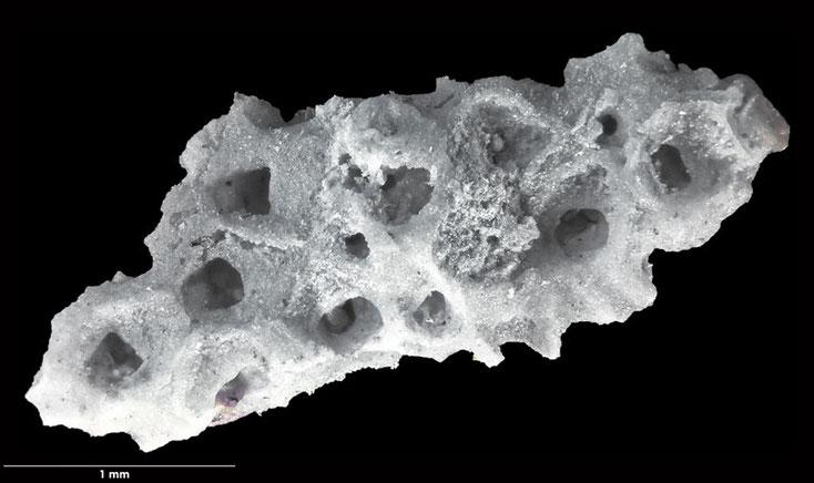 Bryozoen, Bryozoa, Senckenberg, Voigt, Moostierchen