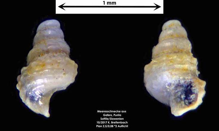 Bild 19 Meeresschnecke aus Sand von Punta Sottile. Gattung: konnte nicht bestimmt werden