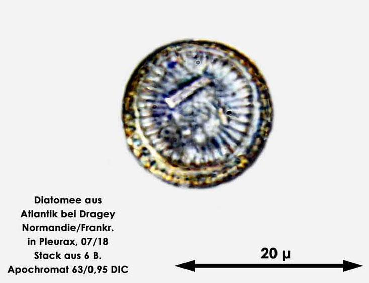 Diatomee aus dem Atlantik bei Draghey de Monton (Normandie). Gattung: Cyclotella sp.