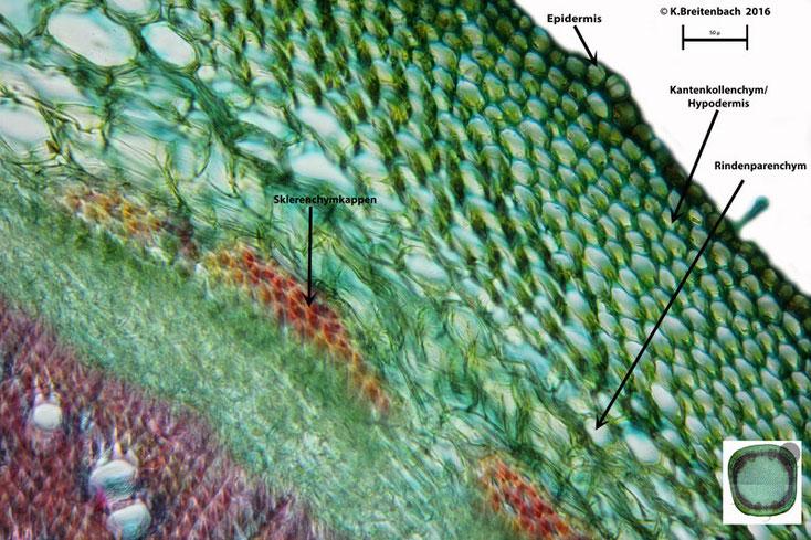 """Bild 8 Sprossquerschnitt des """"Klebrigen Salbei"""" (Salvia glutinosa)"""