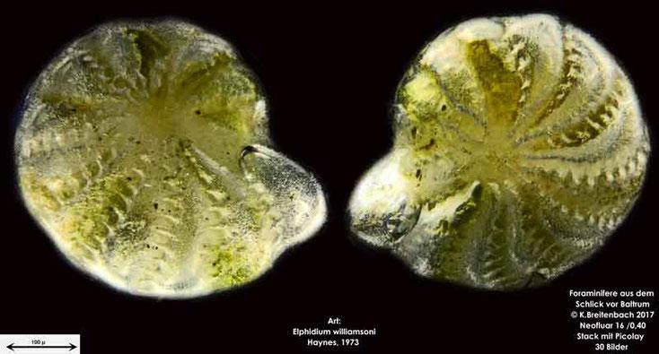 Bild 7 Foraminifere aus dem Wattschlick vor Baltrum; Vorder- und Rückseite; Art: Elphidium williamsoni Haynes 1973