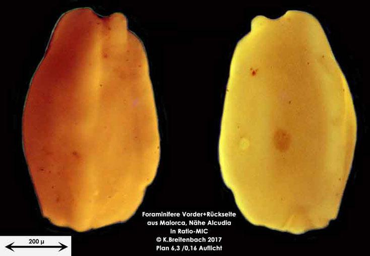 Bild 6 Foraminiferen aus Mallorca; Gattung: Quinqueloculina spec.