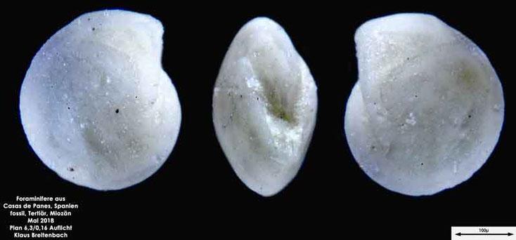 Bild 5 Foraminifere aus Casas de Pranes, Spanien. Gattung und Art konnte nicht bestimmt werden