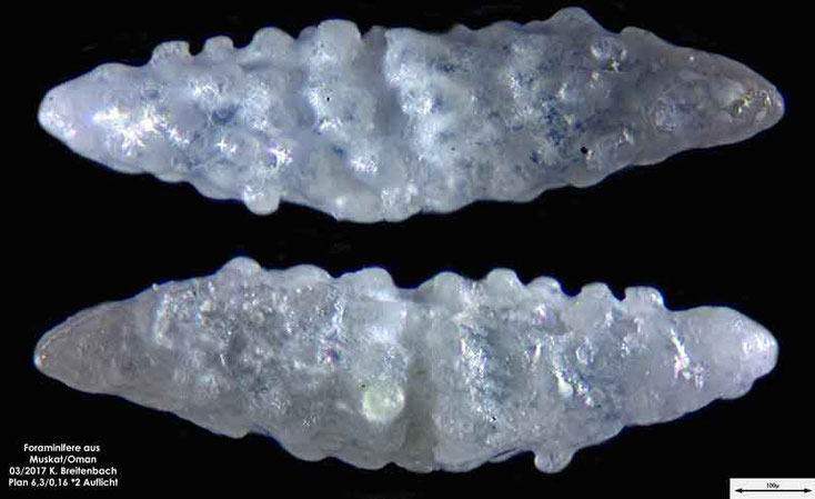 Bild 13 Foraminiferen aus dem Oman, Strand von Muskat. Gattung: unbestimmt