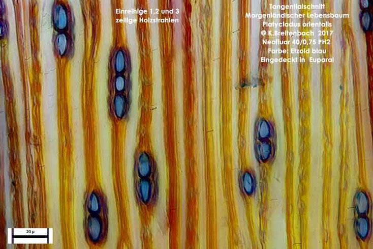 Bild 16 Morgenländischer Lebensbaum (Platycladus orientalis) Tangentialschnitt mit Holzstrahlen