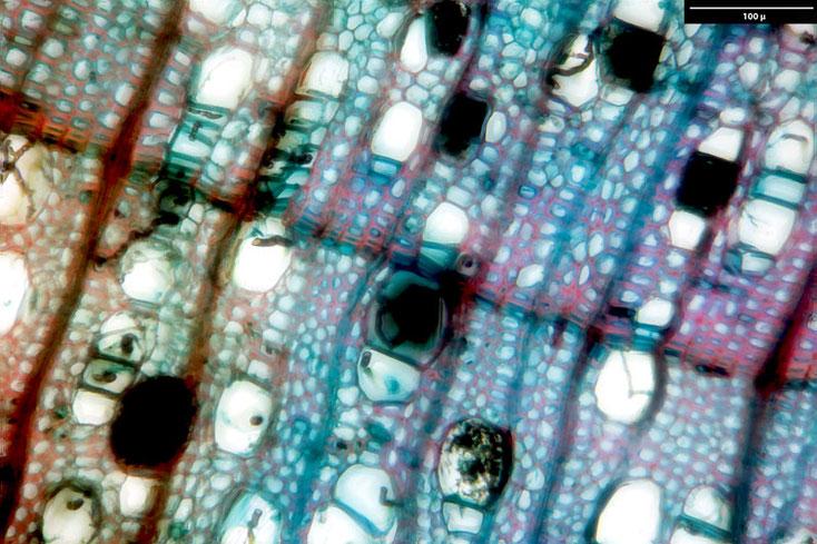 Birke - Weißbirke, Querschnitt - in den Tracheiden sind die Pilzhyphen zu sehen.