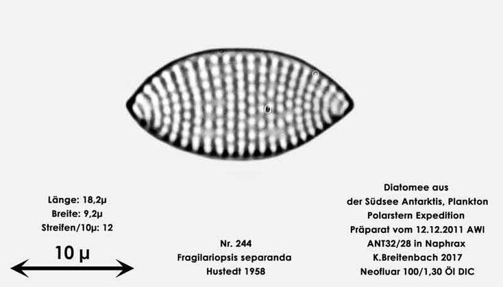Bild 9 Diatomee aus dem anarktischen Ozean Präparat: ANT32/28; Art: Fragilariopsis separanda Hustedt 1958