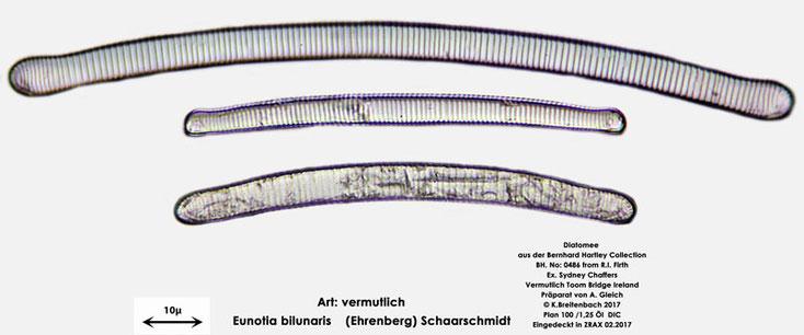 Bild 9 Diatomee aus Toomebridge Irland, Süßwasser Art: vermutlich Eunotia bilunaris (Ehrenberg) Schaarschmidt