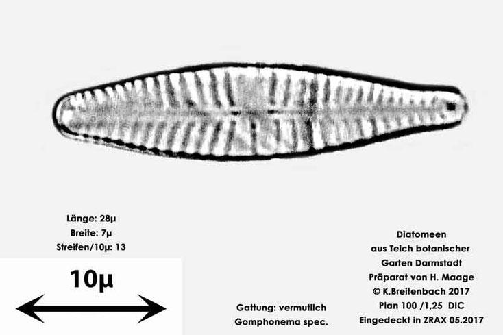Bild 14 Diatomee aus dem botanischen Garten in Darmstadt, Gattung: vermutlich Gomphonema spec.