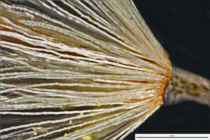 """Bild 1 Kleine """"Fallschirme"""" der Gerbera mit daran hängendem Samen"""