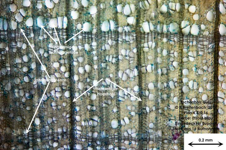 Esche quer mit Jahresringen, Holzstrahlen und ringförmig angeordneten Gefäße