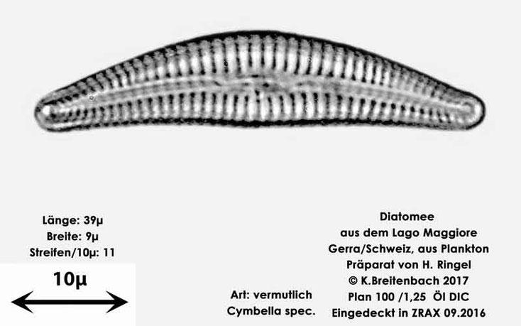 Bild 7 Diatomee aus dem Lago Maggiore/Gerra Schweiz, Art vermutlich Cymbella spec.