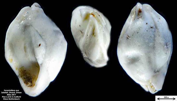Bild 5a Foraminifere vom Strand in Salalah, Oman Gattung: Quinqueloculina sp.