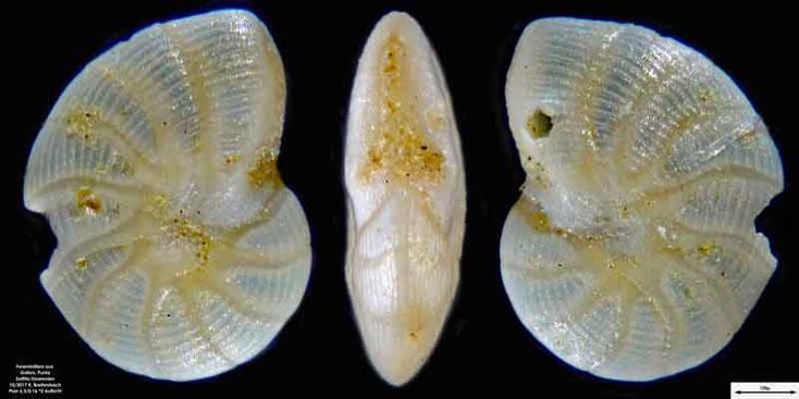 Bild 8 Foraminiferen aus Sand von Punta Sottile. Art: Peneroplis pertusus (Forskål, 1775)