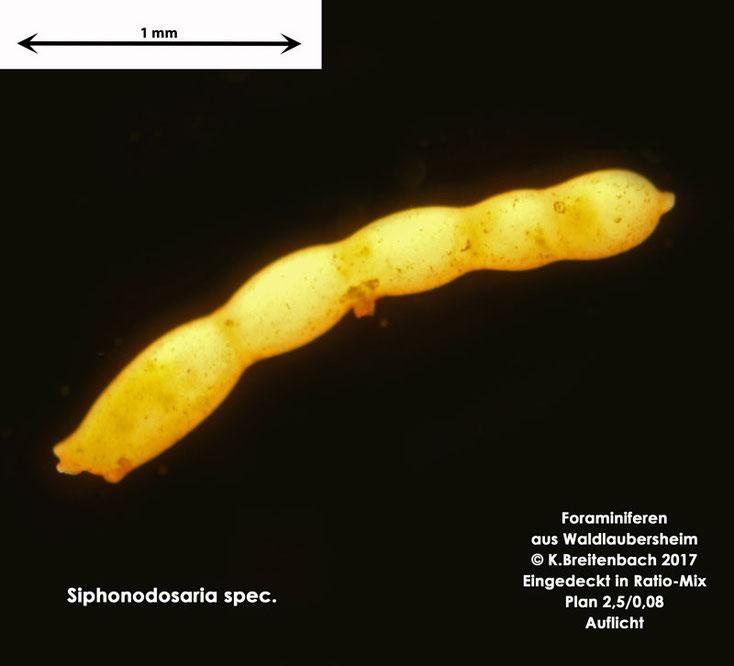 Bild 9 Foraminifere aus Waldlaubersheim vermutlich Siphonodosaria spec.