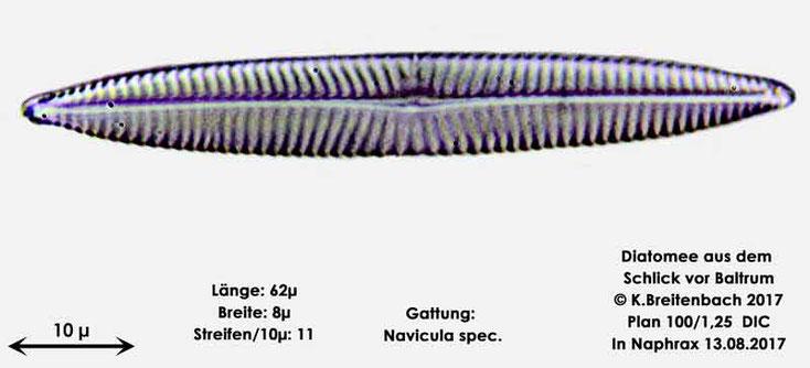 Bild 15 Diatomee aus dem Watt vor Baltrum; Gattung: Navicula spec.