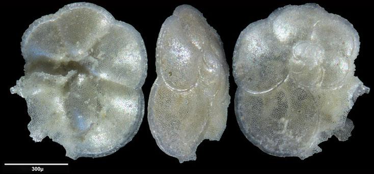 Bild 14 Foraminifere aus Maribago, Philippines; Gattung: Rosalina sp (d'Orbigny, 1826)