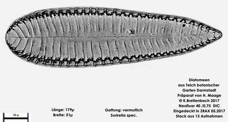 Bild 23 Diatomee aus dem botanischen Garten in Darmstadt, Gattung: vermutlich Surirella spec.