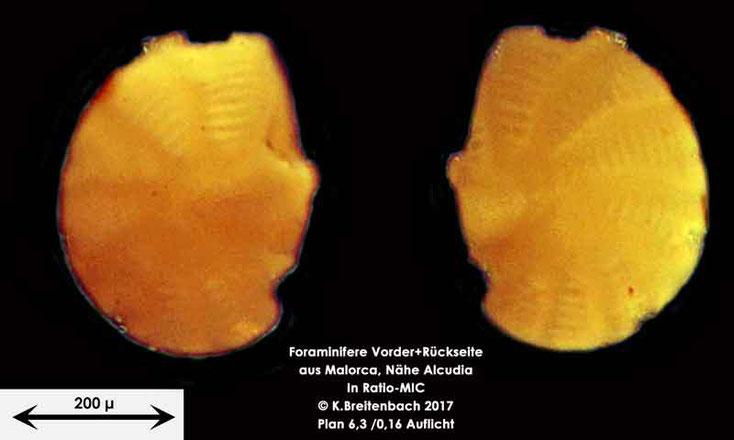 Bild 3 Foraminiferen aus Mallorca; Art: Peneroplis planatus (Fichtel & Moll, 1798)