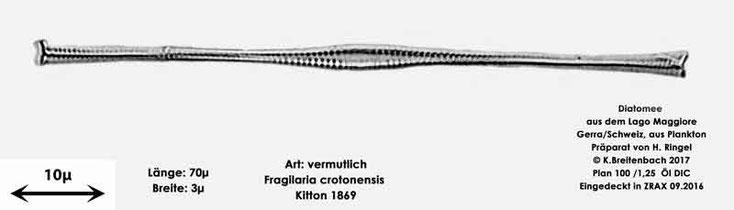 Bild 3 Diatomee aus dem Lago Maggiore/Gerra Schweiz, Art vermutlich Fragilaria crotonensis Kitton 1869