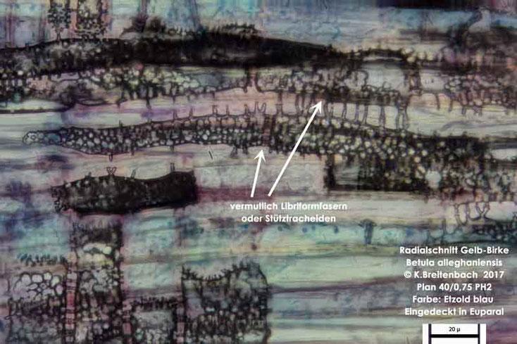 Bild 8 Gelb-Birke (Betula alleghaniensis) Radialschnitt mit vermutlich Libriformfasern oder Stütztracheiden