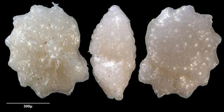 Bild 10 Foraminifere, aus Sand vom Strand Flic en flac in Mauritius; Art: Neorotalia calcar (d'Orbigny 1839)
