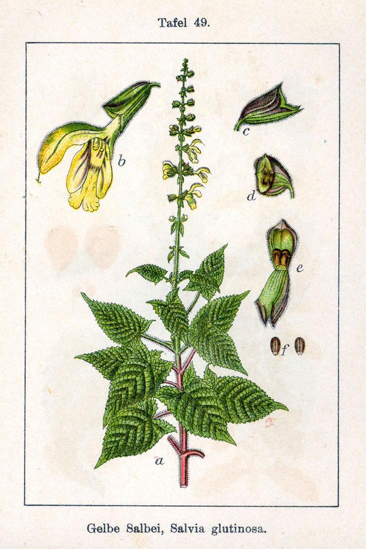 Bild 1 Klebriger oder Gelber Salbei, Quelle Internet