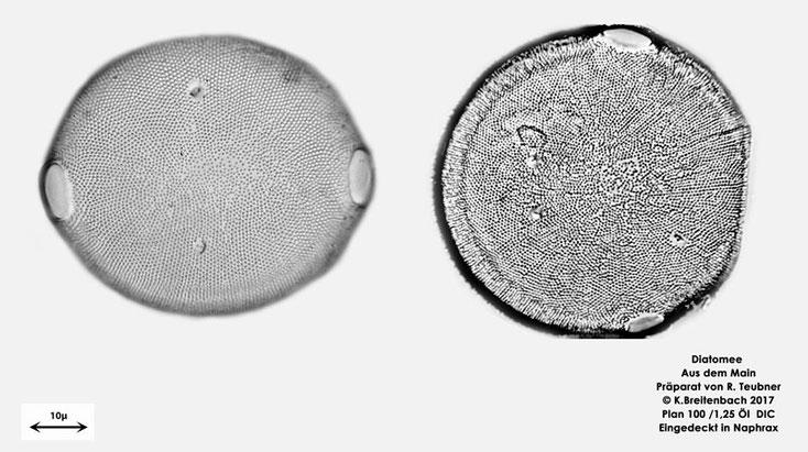 Bild 17 Diatomee aus dem Main km 69,4, vermutlich Pleurosira laevis