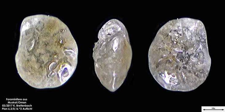 Bild 8 Foraminiferen aus dem Oman, Strand von Muskat. Gattung: unbestimmt