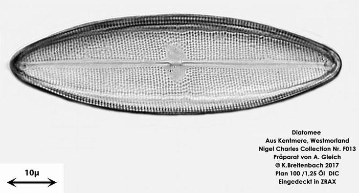 Bild 15 Diatomeen aus Kentmere Westmoreland UK Art: Unbekannt