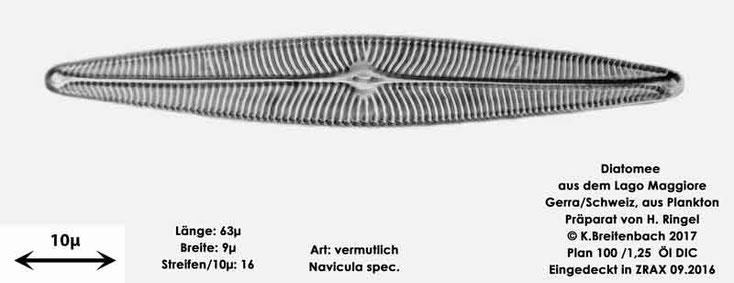Bild 13 Diatomee aus dem Lago Maggiore/Gerra Schweiz, Art vermutlich Navicula spec.
