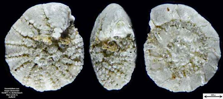Bild 36 Foraminifere aus Koper/Slowenien Art: Elphidium sp.