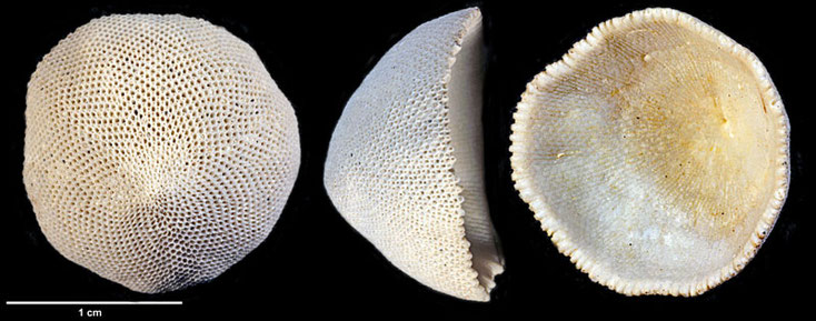 Bryozoa Cupuladria grandis