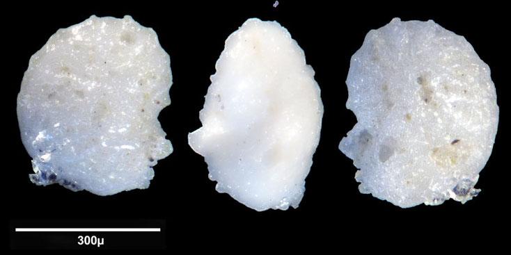 Bild 1 Foraminifere aus Maribago, Philippines; Art: unbestimmt