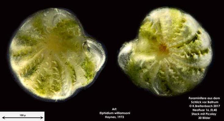 Bild 8 Foraminifere aus dem Wattschlick vor Baltrum; Vorder- und Rückseite; Art: Elphidium williamsoni Haynes 1973