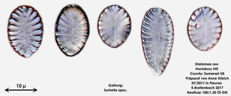 Bild 25 Diatomeen aus Hornsbury Hill, County Somerset UK, Gattung: Surirella spec.