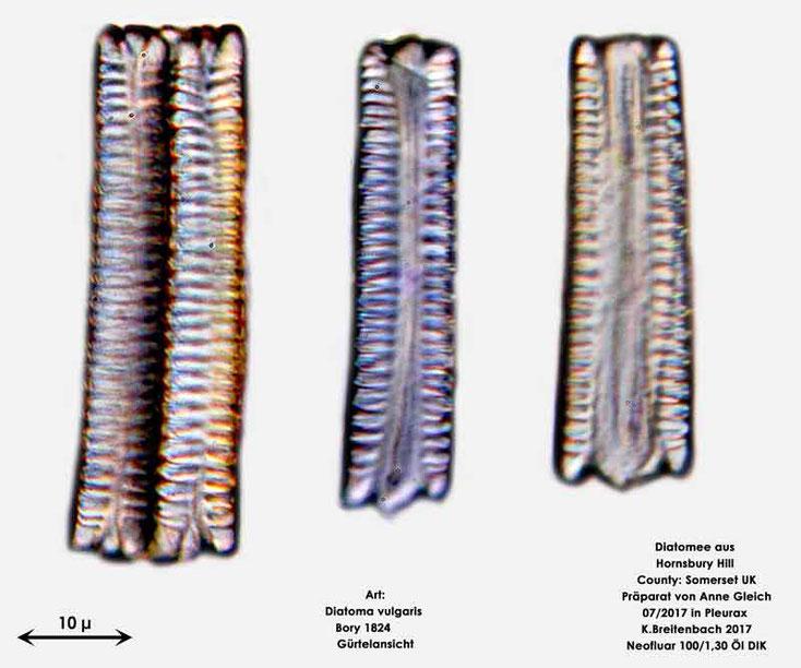 Bild 8 Diatomeen aus Hornsbury Hill, County Somerset UK, Art: Diatoma vulgaris Bory 1824; Gürtelansicht