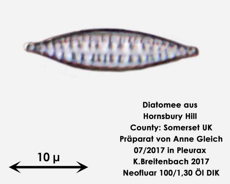 Bild 26 Diatomee aus Hornsbury Hill, County Somerset UK, Gattung: wurde von mir nicht bestimmt