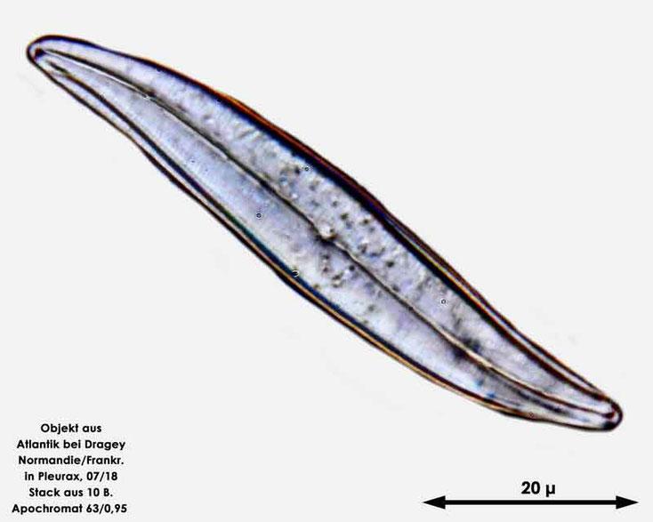 Diatomee aus dem Atlantik bei Draghey de Monton (Normandie). Art: Gyrosigma balticum (Ehrenberg) Rabenhorst 1853